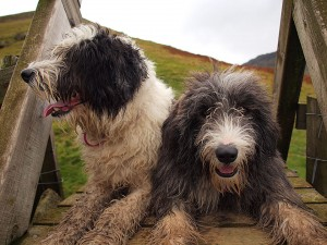 The fell walking Bearded Collies