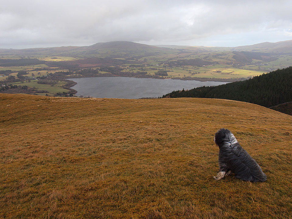 Dougal checks out Binsey and Bassenthwaite Lake from a very windy Sale Fell