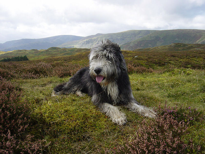 Angus has a lie down on Naddle Low Forest