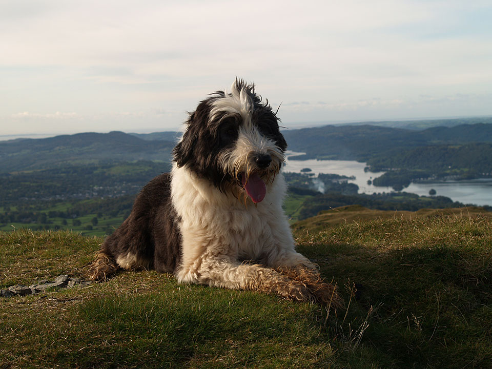 Casper on the summit of Sour Howes - the cairn that used to be here has disappeared