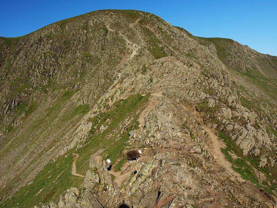 The sheep are on the point where the lower path crosses from the northern side to the southern and leads around the 'difficult for dogs to negotiate' Chimney
